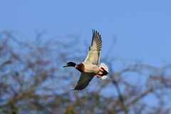Mallard male are flying, winter. Mallard male flying in the sky, winter, anas platyrhynchos Stock Image