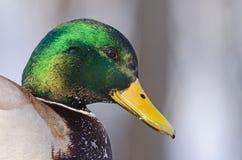 Mallard (male) Stock Photography