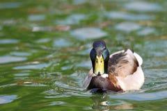 Mallard male on lake surface. Male mallard duck ( Anas platyrhynchos )  swimming on lake surface Royalty Free Stock Image
