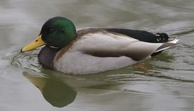 Mallard male is swimming. Mallard male with a glossy green head and are grey on wings and belly is swimming Stock Photography
