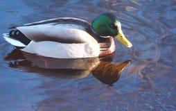 Mallard. Male mallard swimming in a pond Stock Images