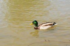Drake is swimming - mallard. Mallard male is swimming in the pond - swimming drake Royalty Free Stock Images