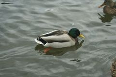 Mallard on the water. The mallard male swims on the water Stock Photos