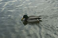 Mallard on the water. The mallard male swims on the water Stock Images