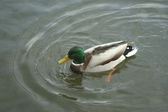 Mallard on the water. The mallard male swims on the water Stock Photography