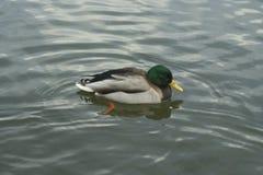 Mallard on the water. The mallard male swims on the water Stock Photo