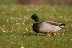 Mallard Male. Walking on the grass and looking for food Stock Photos