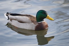 Mallard male on the watter Stock Image