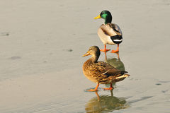 Mallard. S in the winter on a lake Royalty Free Stock Photos