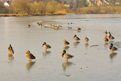 Mallard. S in the winter on a lake Stock Photography