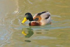 Mallard Royalty Free Stock Photography