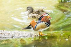 Mallard Mandarin duck standing and swimming in the shallow of river. Mallard Mandarin duck standing on wood and one other swimming in the shallow river Royalty Free Stock Images