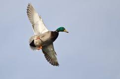 Mallard maschio Duck Flying in Pale Blue Sky fotografia stock