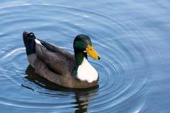 Mallard maschio Duck Wading in un lago fotografia stock