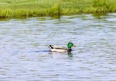 Mallard maschio galleggia sullo stagno fotografia stock libera da diritti