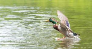 Mallard masculin entre pour débarquer sur la rivière d'Ottawa Images stock