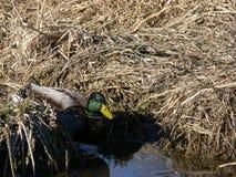 Mallard masculin solitaire Duck Swimming dans les roseaux Photo stock