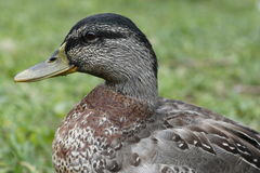 Mallard. In a meadow near a mountain lake Stock Photography