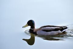 Mallard with mirror image. A mallard with mirror image Stock Photography