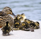 Mallard Mom and Babies. Mallard mom guarding her babies as they prepare to take a nap beside a pond Royalty Free Stock Photos