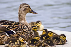 Mallard Mom and Babies. Mallard duck mom guards her babies and they settle in for an afternoon nap Royalty Free Stock Image