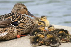 Mallard Mom and Babies. Mallard duck mom guards her babies as they settle in for an afternoon nap Royalty Free Stock Images