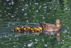 Mallard mom with chicks swimming Royalty Free Stock Photo