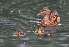Mallard mom with chicks swimming Royalty Free Stock Photos