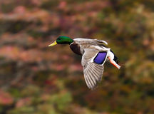 Mallard in the Moment. A mallard duck is in landing position as it glides past the fall foliage along Henry's pond in Rockport Royalty Free Stock Photos