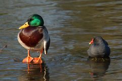 Mallard + Moorhen Royalty Free Stock Photo