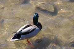 The mallard is the most abundant and commonly recognized species of duck in North America. The male`s characteristic and. Male mallard saw in March of 2018 in Royalty Free Stock Photo