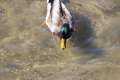 The mallard is the most abundant and commonly recognized species of duck in North America. The male`s characteristic and. Male mallard saw in March of 2018 in Stock Photography
