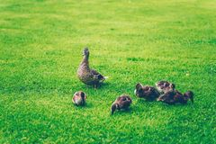 Mallard mother and baby ducks eating grass in a park. Mallard mother and baby ducks eating grass in a finnish park called Sorsapuisto the Park with ducks from royalty free stock photography