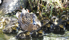 Mallard Mother Duck and Baby Duckling Family. Mother Duck looking after her brood of ducklings on the pond Stock Images