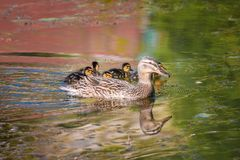 Mallard mother duck and ducklings swimming in river. Mother mallard duck Anas platyrhynchos with ducklings swimming in river royalty free stock images