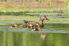 Mallard mother with ducklings. Mallard mother leads ducklings across a green pond Royalty Free Stock Photo