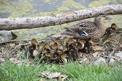 Mallard Mother and Ducklings Stock Image