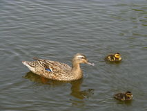 Mallard mother. Eastphoto, tukuchina, Mallard mother, Animals, capture Royalty Free Stock Photo