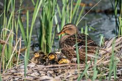 Mallard mother with her ducklings at the river side. Mallard mother with her ducklings Anas platyrhynchos resting in log near river stock photos