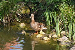 Mallard mother with her ducklings. At the edge of a pond Royalty Free Stock Image
