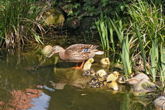 Mallard mother with her ducklings. At the edge of a pond Stock Photo