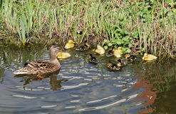 Mallard mother with her ducklings. At the edge of a pond Royalty Free Stock Photography