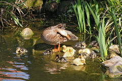 Mallard mother with her ducklings. At the edge of a pond Stock Image