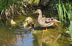 Mallard mother with her ducklings. At the edge of a pond Royalty Free Stock Photo