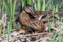 Mallard mother with her ducklings at the river side. Mallard mother with her ducklings Anas platyrhynchos resting in log near river stock image