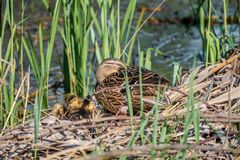 Mallard mother with her ducklings at the river side. Mallard mother with her ducklings Anas platyrhynchos resting in log near river royalty free stock photo