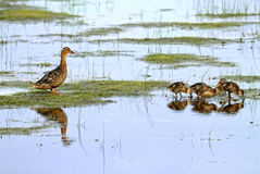 Mallard mother. Are taking care of their babies Stock Image