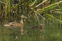 Mallard mother whit young Stock Photo