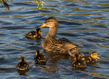 Mallard mummy and her ducklings. Mummy looking after her babies Stock Image