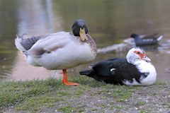 A mallard and a muscovy duck rest on the shore of the pond. Mallard and a muscovy duck rest on the shore of the pond Stock Photography